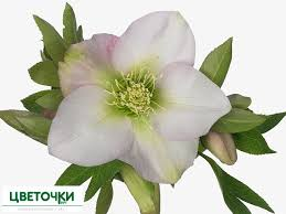 Helleborus Queens Pale Pink (Хелеборус Квинс Пале Пинк) В35