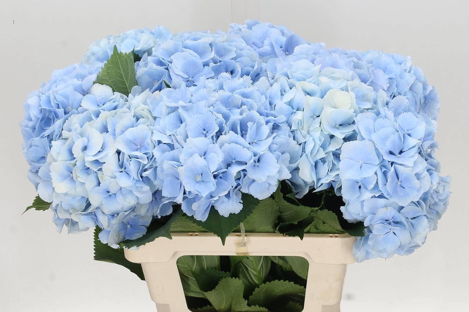 Hydrangea Verena blue( Гортензия Верена блу) В50