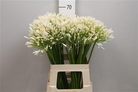 Agapanthus White (Агапантус Вайт) В70