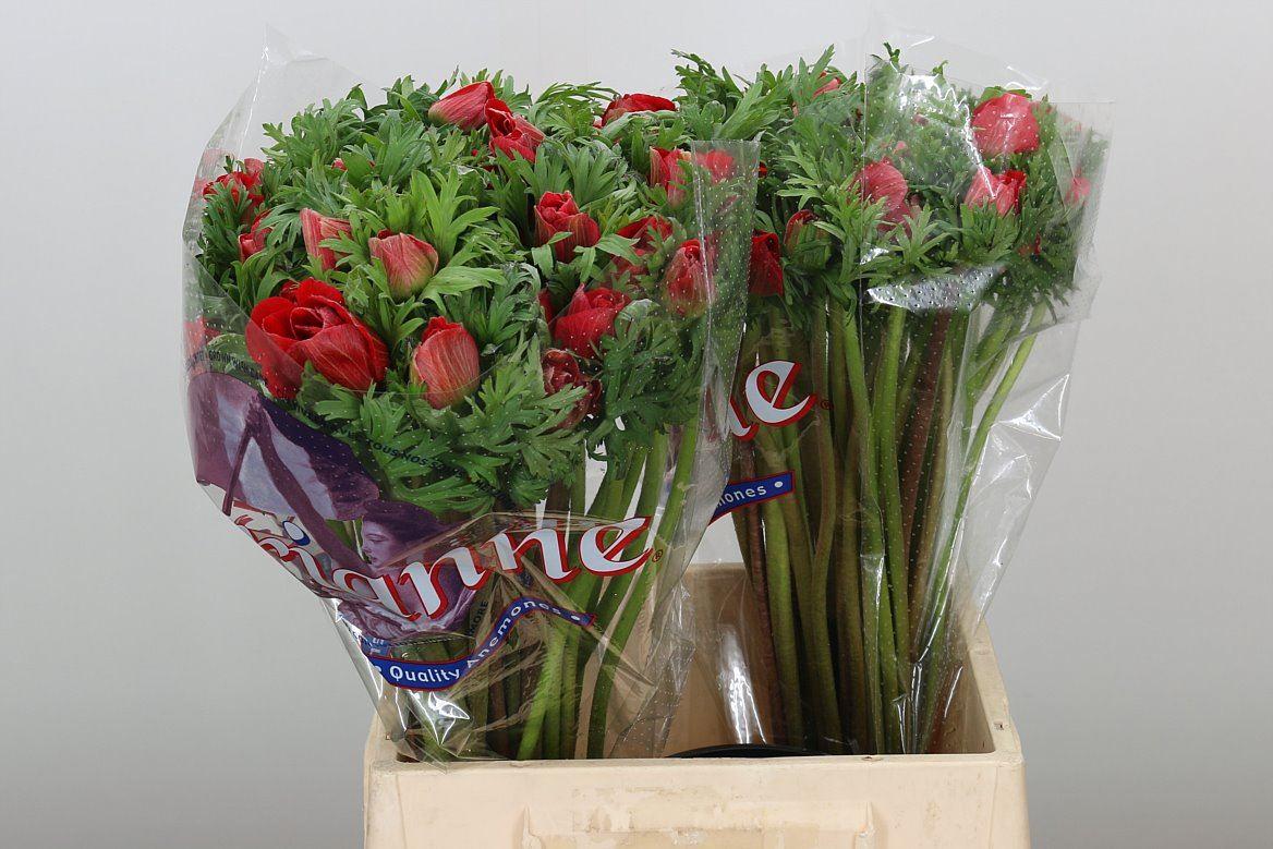 Anemone Мarianne red (Анемон Марианн ред) В45