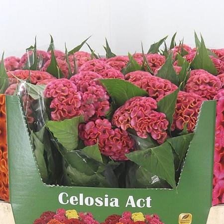 Celosia C Act Ziva (Целозия Акт Цива) В75