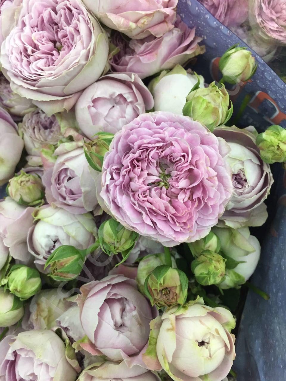 Rosa tr Blossom Bubbles (Роза куст Блоссом Баблс) В60