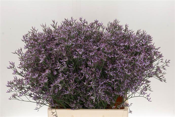 Limonuim Safari Lilac (Лимониум Сафари Лилак) В60