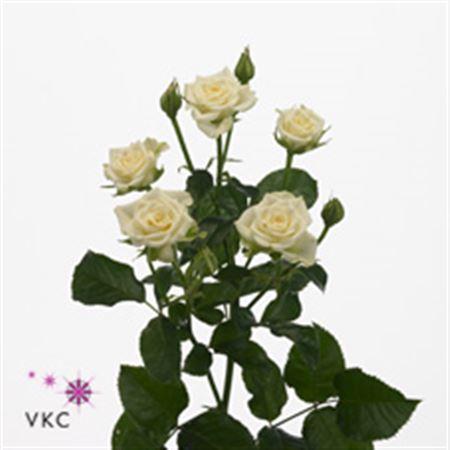 Rosa Tr Snow Flake  (Роза Тр Сноу Флейк ) В70