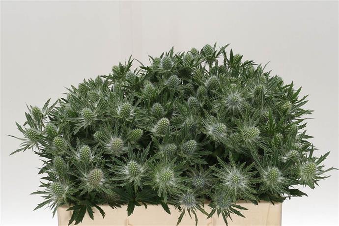 Eryngium Thissle Sirius Questar(Эрингиум Орион Сириус Кустар)В50