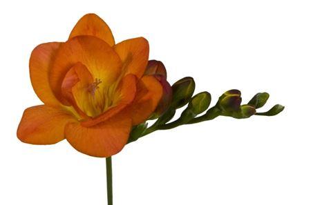 Freesia Du Orange (Фрезия Ду Оранж)