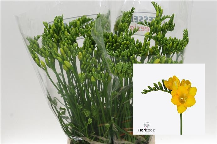 Freesia En Yellow (Фрезия Эн Еллоу)