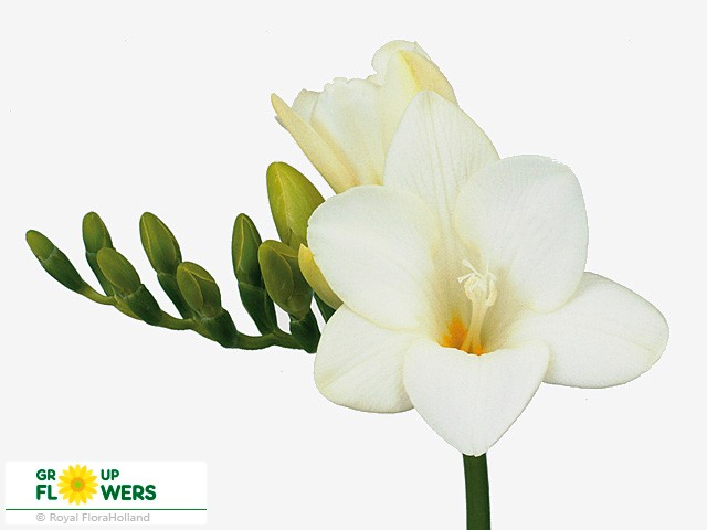 Friesia En Bellina (Фрезия Ен Беллина) В50