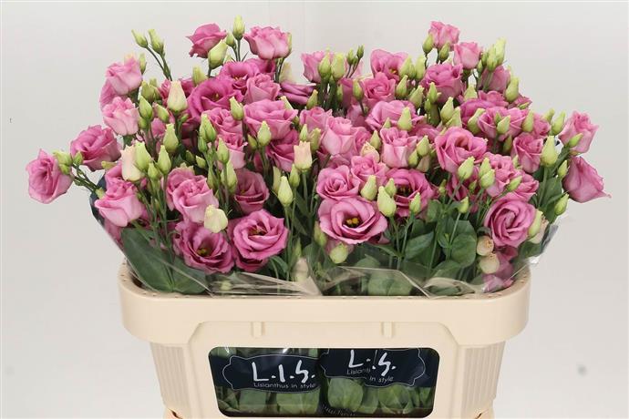 Eustoma Du Rosita Rose (Эустома Ду Росита Роуз) В75