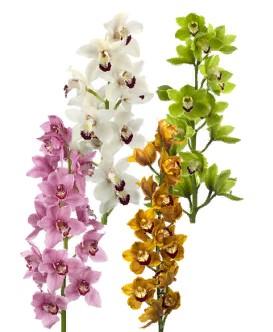Cymbidium mix (Орхидея микс) В100
