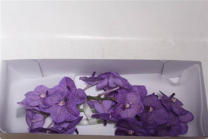 Orchideeen Vanda Orange Magic (Орхидея Ванда Оранж Мэджик) В025