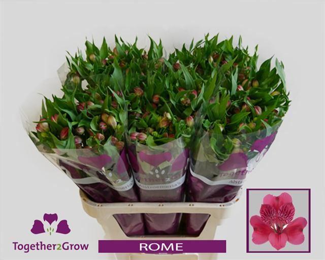 Alstroemeria Rome Extra (Альстромерия Рим Экстра) В75