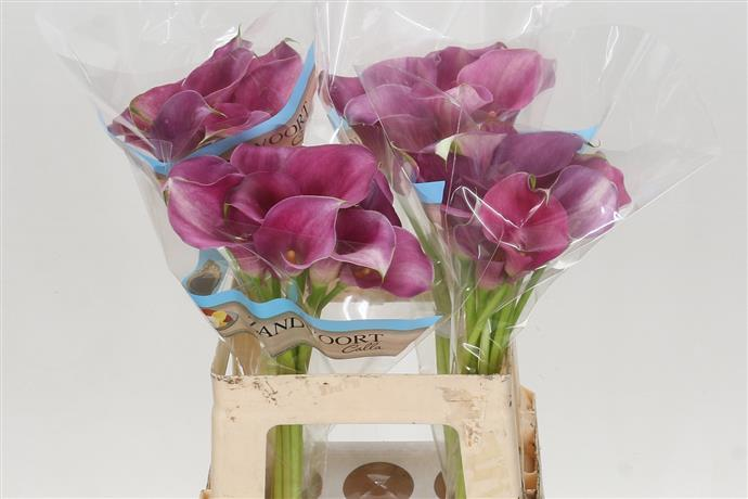 Zantedeschia Purple (Калла Перпл) В60