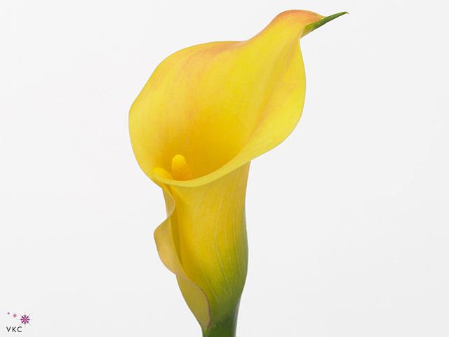 Zantedeschia capt memphis (Калла Капитан Мемфис) В50