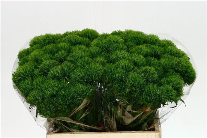Dianthus br green trick (Гвоздик бр грин трик) В40