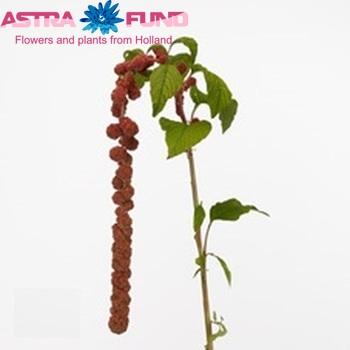 Amaranthus caudatus rosary(Амарантус Каудатус росари)В80