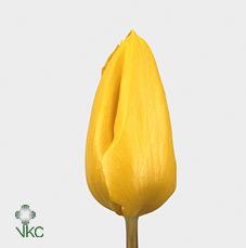 Tulipa En Yellow Flight (Тюльпан Эн Еллоу Флайт)