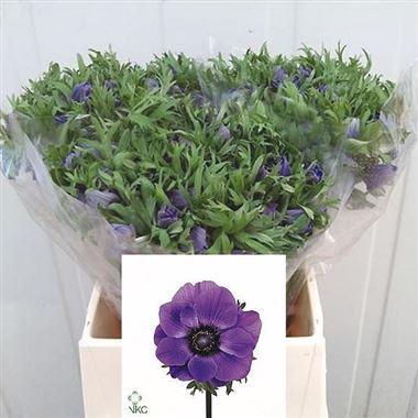 Anemone Marianne blue(Анемоны Марианн блу)В45