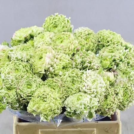 Ranunculus Cloony Pon Pon Silente (Ранункулюс Клуни Пон Пон Силенте) В40