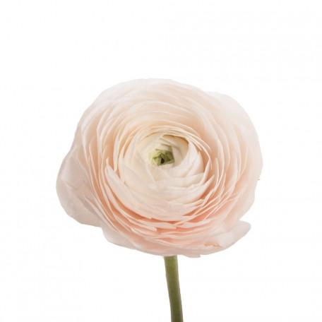 Ranunculus Cloony Pink Pale (Ранункулюс Клуни Пинк Пейл) В40