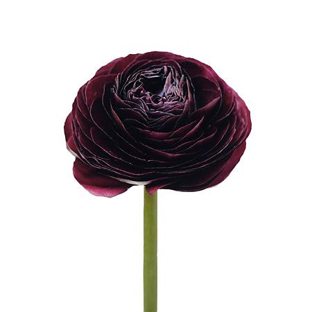 Ranunculus Cloony Burgundy (Ранункулюс Клуни Бургунди) В40