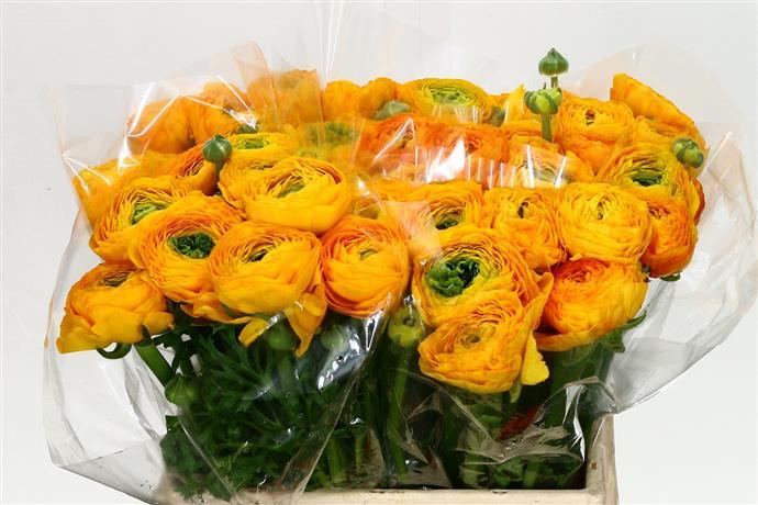 Ranunculus Cloony Yellow (Ранункулюс Клуни Еллоу) В40