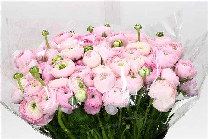 Ranunculus elegance pink (Ранункулюс элеганс пинк ) В45