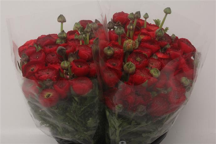 Ranunculus Elegance Rood Super(Ранункулюс Элеганс Руд Супер)В40
