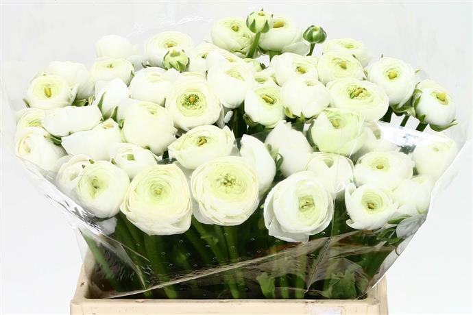 Ranunculus White (Ранункулюс Вайт) В30