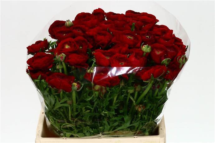 Ranunculus red (Ранункулюс ред) В35