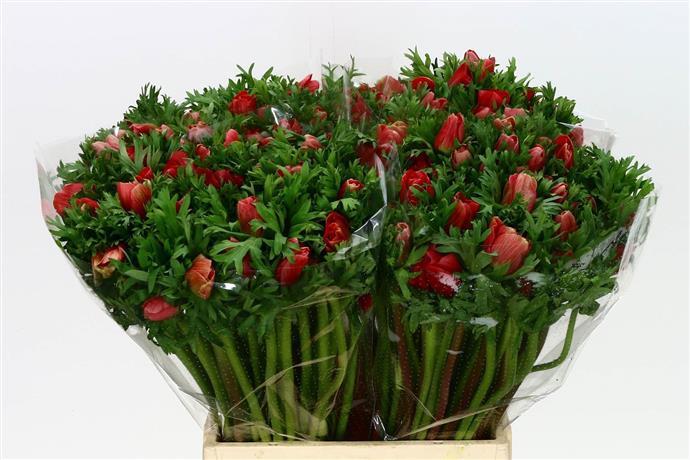 Anemone Co Mar Red (Анемон Мар Ред) В40