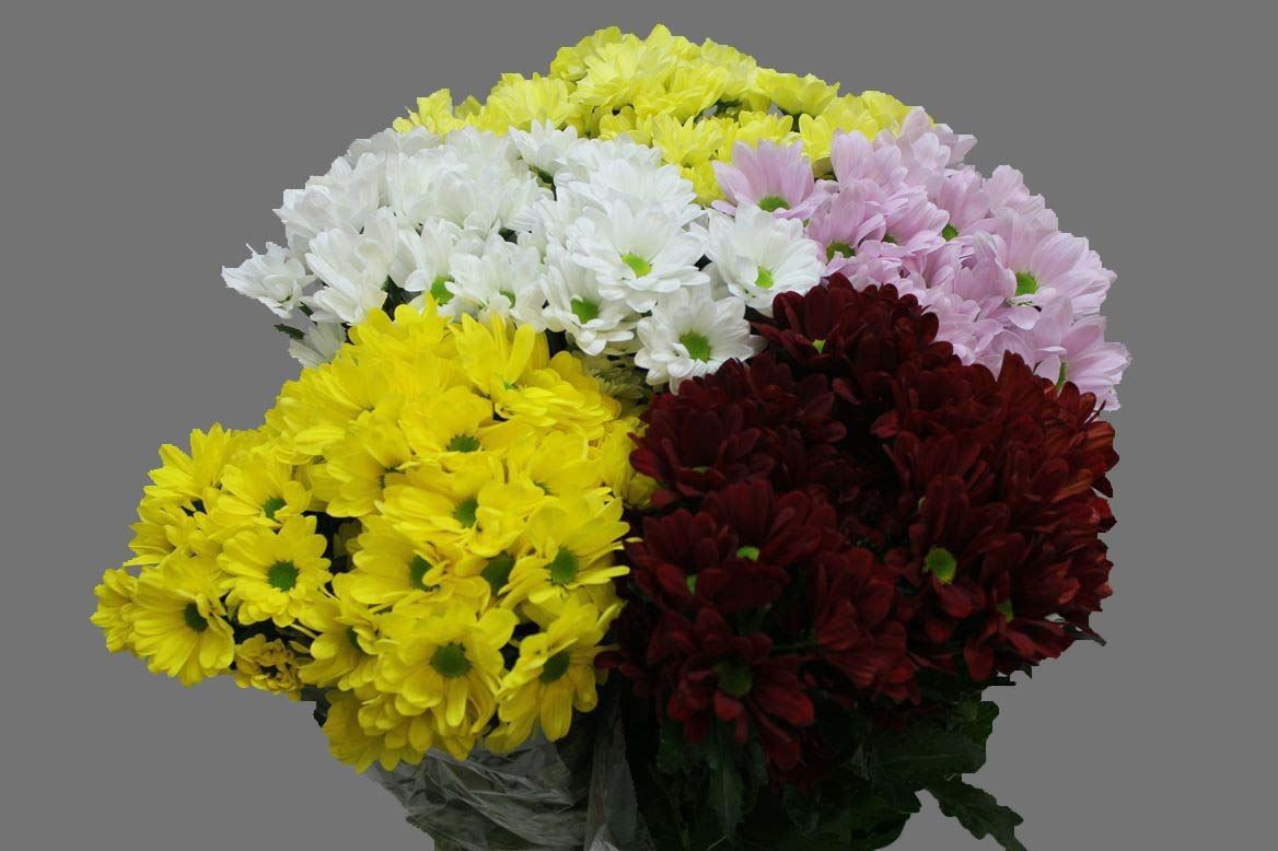 Цветов, цветы хризантемы купить оптом