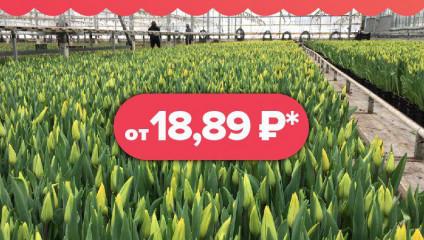 Тюльпаны на 8 марта от 18,89 руб.
