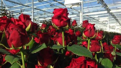 Роза Россия  50 cm 14,9 ₽