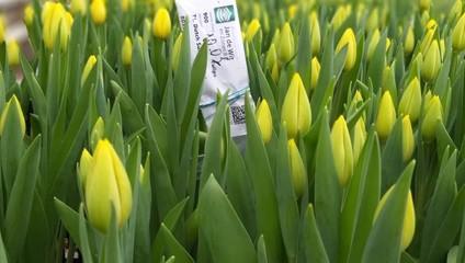 Тюльпаны от 23,87 ₽ к 8 марта 2021