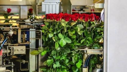 Роза Час пик 50 см. 32,87 ₽, Роза Рэд наоми 50 см. 34,87 ₽