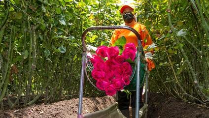 Роза Эквадор 50 см. 45,87 ₽, Роза Эксплорер 60 см 46,87 ₽