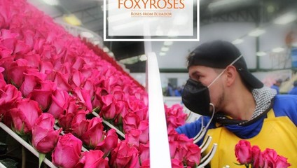 Роза микс 60 см. 45,87 ₽, Роза ЭКСПЛОРЕР 60 см. 46,87 ₽