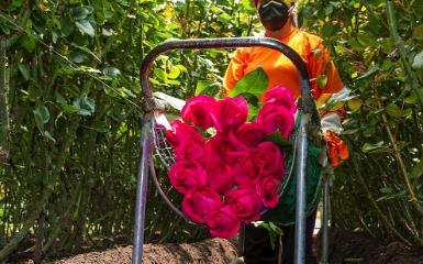 Предложение Розы Эквадор, премиальных плантации