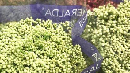 Пион Wit  NL  55  cm 58,87 ₽ ,Роза Parfum Garden Remembrance 50 cm 42,87 ₽