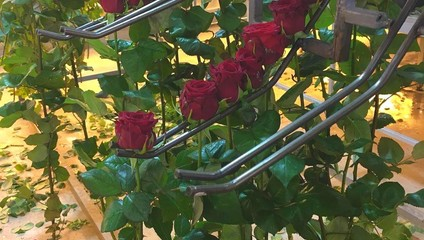 Предложение ЦВЕТЫ УДМУРТИИ,  Роза РФ 37,87 ₽, Роза РФ 70 см. 50,87 ₽