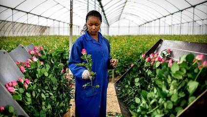 Предложение Роза Кения к *1 СЕНТЯБРЯ*  Роза Кения 22,87 ₽, Роза кустовая 34,87 ₽