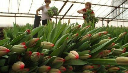 Тюльпаны от 18,87 руб.
