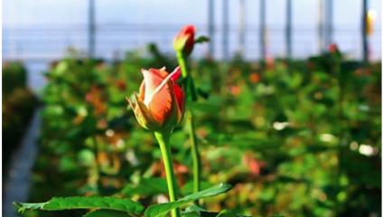 Поступление розы