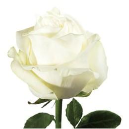 Rosa Polar Star (Роза Полар Стар) B60 Natuflor