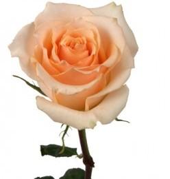Rosa Versilia (Роза Версилия) В70 Nevado