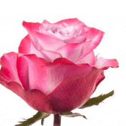 Rose Deep Purple (Роза Дип Перпл) B50 Royal Flowers