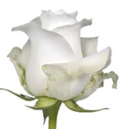 Rose Proud (Роза Проуд) B60 Piaveri