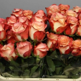 Rosa Cabaret (Роза Кабарет) В50 Esperanza