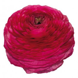Ranunculus Hot Pink (Ранункулюс хот пинк) В50